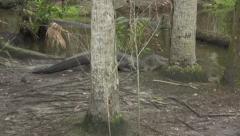 Alligator attacks his prey Stock Footage