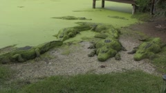 Alligators getting some sun Stock Footage