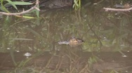 Stock Video Footage of baby alligator in the wild