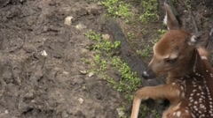 Baby Spotted white taled Deer - stock footage