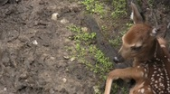 Stock Video Footage of Baby Spotted white taled Deer
