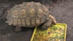 Big turtle likes to eat sallad - stock footage