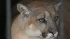 Stock Video Footage of Cougar behind bars