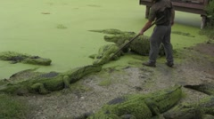 Crazy man feeds alligators - stock footage