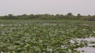 Drifting over lilly pads on a swampy river air boat ride Stock Footage
