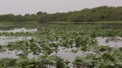 Stock Video Footage of Floating over lilly pads on a swamp air boat