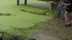 Idiot almost gets bit by an alligator - stock footage