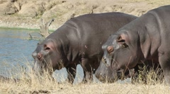 Hippopotamus, safari, Sabie-Sand nature reserve, South Africa Stock Footage