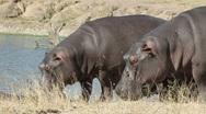 Hippopotamus, safari, Sabie-Sand nature reserve, South Africa Stock Footage
