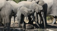 Stock Video Footage of African elephants drinking water