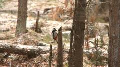 woodpecker 1 - stock footage