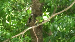 Stock Video Footage of Toucan in Trees in Monte Verde Costa Rica