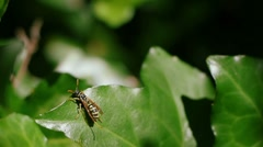 Wasp on Leaf FULL HD Stock Footage