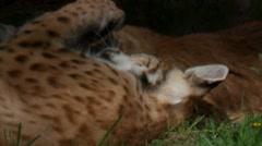 lynx springtime - stock footage
