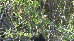 Anhinga in the bushes Stock Footage