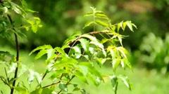 Fresh Neem leaves Stock Footage