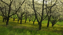 Cherry Trees Two Stock Footage
