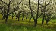 Stock Video Footage of Cherry Trees Two
