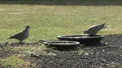 Collard Doves at water bowl. Stock Footage