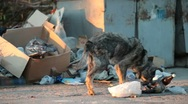 Stock Video Footage of homeless dog feeding into garbage can