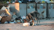 Stock Video Footage of homeless dog digging in the waste