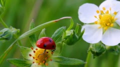 Ladybug on wild strawberry flower macro Stock Footage