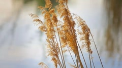 Reeds on the lake Stock Footage