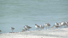Stock Video Footage of willets