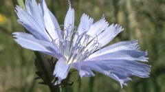 Chicory blooms in the meadow. Stock Footage