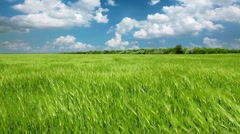 Field of green ears and cloudy sky Stock Footage