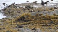 Stock Video Footage of Bald eagles jockeying for food at low tide