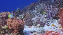 Butterflyfish (2 Spotfins) Stock Footage