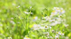 Field chamomile Stock Footage