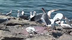 seagulls eating flesh - stock footage