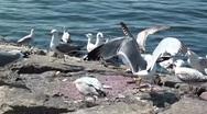 Seagulls eating flesh Stock Footage