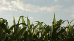 Fresh corn field  - stock footage