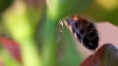 HoneyBee leafage close-up Stock Footage