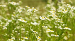 Summer daisies Stock Footage