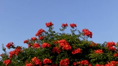 Red Flower BlueScreen Stock Footage