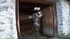 Cows Leaving Shed 3 Stock Footage