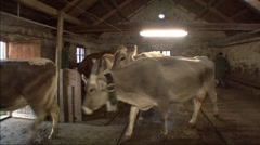 Cows Leaving Shed 5 Stock Footage