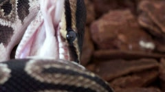 Ball Python Consuming a White Mouse HD - stock footage