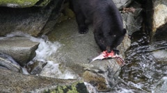 Big bear eating salmon fish Stock Footage
