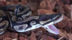 Ball Python Yawning After Eating a Mouse HD Stock Footage