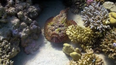 Stone fish on coral reef Stock Footage