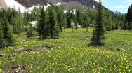 Stock Video Footage of Glacier Lily Wildflowers