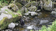 Two black bears looking for fish Stock Footage