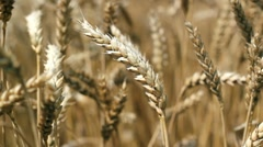 Ripe Wheat Earse Close Up Stock Footage