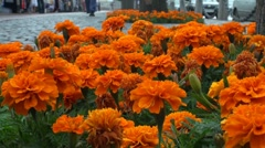 A bed of orange flowers Stock Footage