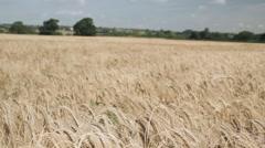 Wheat Field Panning Stock Footage